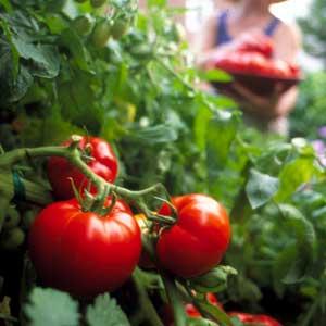 tomatoes-01