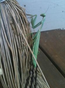 Elegantly poised the mantis preys!