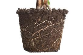 Lift the whole root system with soil off