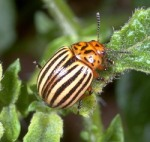 Adult Colorado potato beetle!