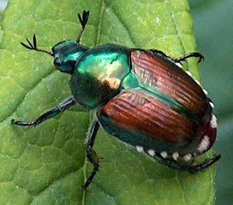 controlling japanese beetles naturally