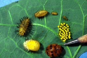 Entire life-cycle of Mexican Bean Beetles.