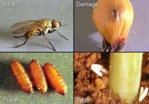 oniob maggot