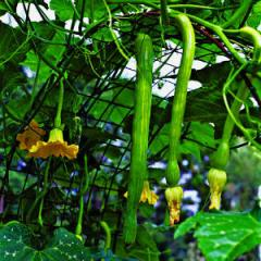'Trombetta', a summer-squash variety over an 8-foot-tall arched metal trellis.