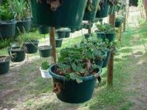 Vegetable plants hanging from pots.