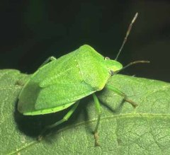 Green adult stink bugs.