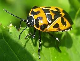 Yellow marked harlequin bug.