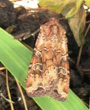 Redbacked cutworm adult.