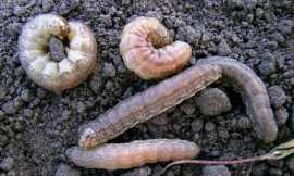 Redbacked cutworm larvae.
