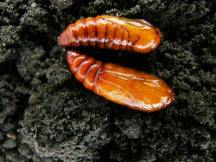 Redbacked cutworm pupae.