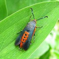 Squash vine borer moth.