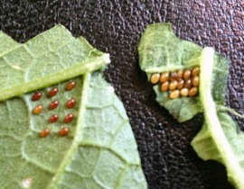 Cucumber beetle eggs.