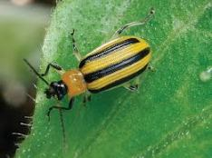 Adult striped cucumber beetle.