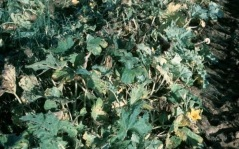 Melonworm damage to foliage.