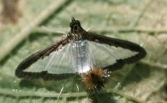 Melonworm moth.