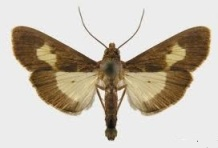 Pickleworm moth.