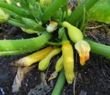 squash bottom end rot
