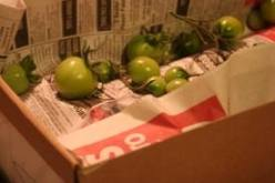 Cardboard method of ripening green tomatoes.