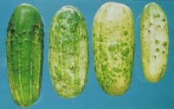CMV symptoms on cucumbers.