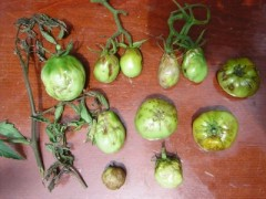 CMV symptoms on tomatoes.