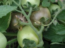 Gray mold symptoms on tomatoes.