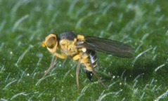Adult American serpentine leafminer