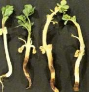 Damping-Off  caused by Rhizoctonia in Groundnut