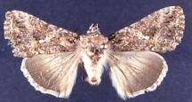 Adult cabbage looper moth.