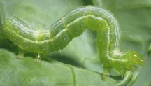 The cabbage looper is a green caterpillar with white stripes down the back.