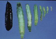 Cabbage loopers at various stages in their life cycle.